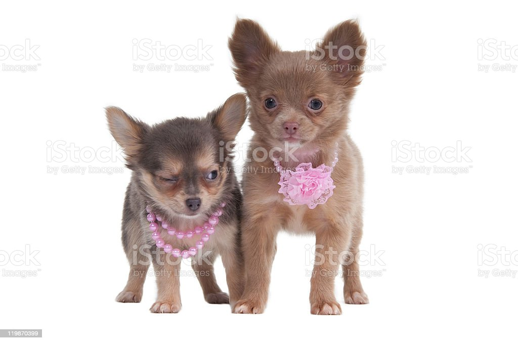 Two Chihuahua Puppies Stock Photo Download Image Now Istock