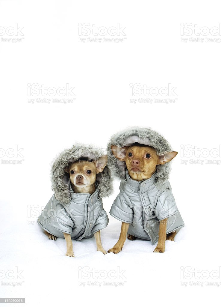 Two Chihuahuas In Winter Parkas stock photo