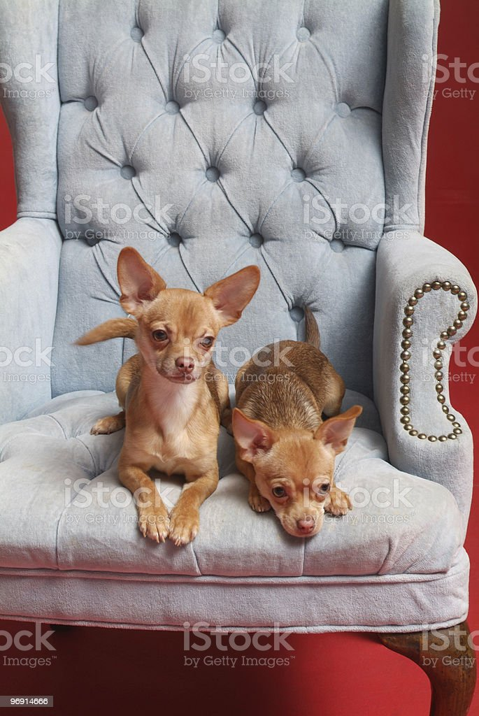 Two Chihuahuas on a blue chair royalty-free stock photo