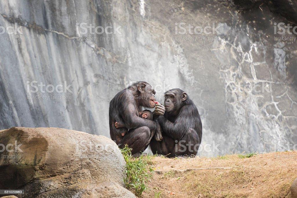 Two Chimpanzee and a newborn stock photo