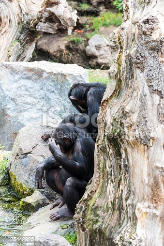 Two chimpanzee are sitting behind a tree