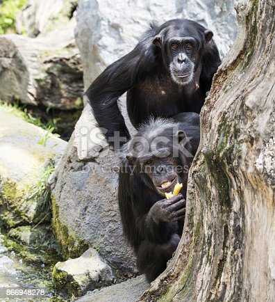 Two chimpanzee are sitting behind a tree and looking at camera.