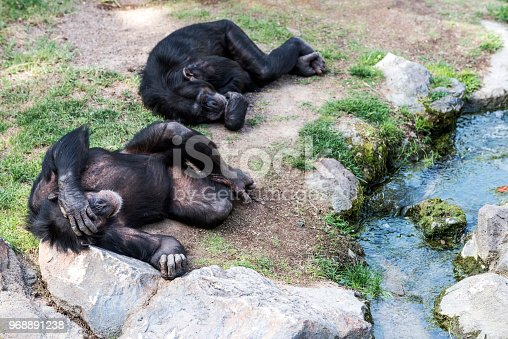 Two chimpanzee are sleeping sleeping near water.