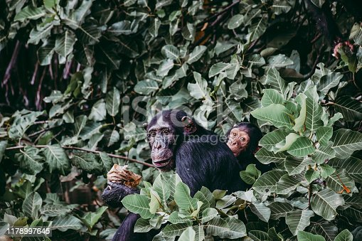 Two chimpanzees sitting in the bushes, portrait