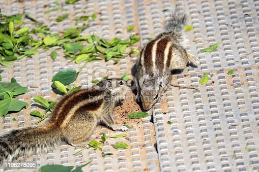Two chipmunks in the park. Indian palm squirrel.  India, Haryana.