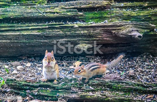 Two Chipmunks looking for food on a fall day next to a moss covered log.