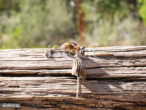 Two striped chipmunks kissing smelling each other together on a wooden dry tree branch