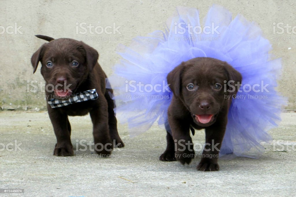 Two Chocolate Labrador Puppies Stock Photo Download Image Now Istock