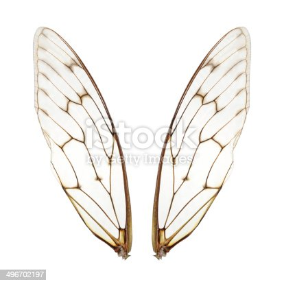 Closeup of two cicada insect perfect clear wings,Isolated on white background