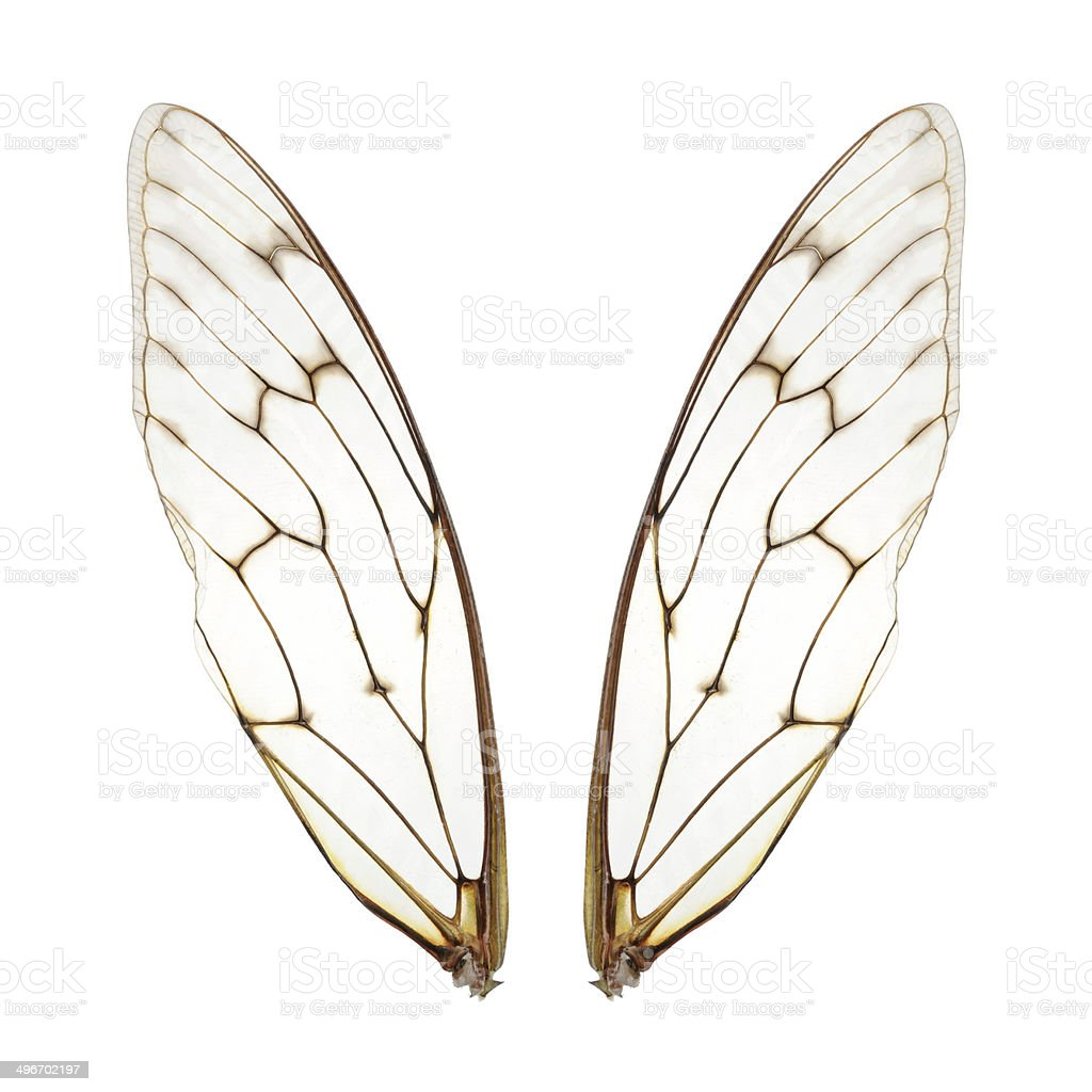 Two cicada wings stock photo