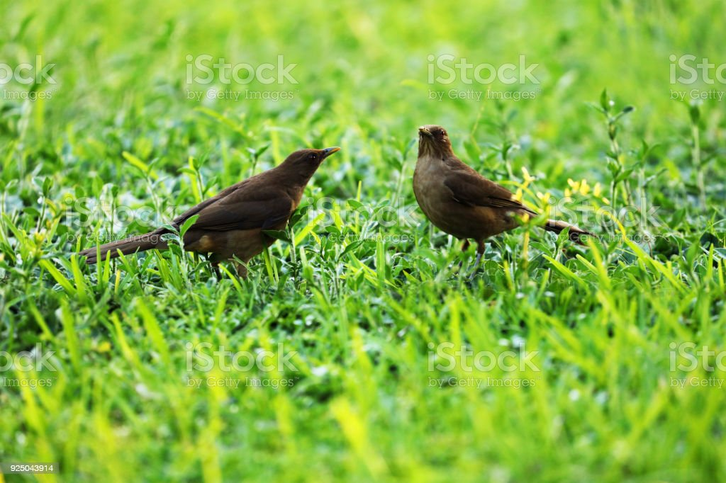 Two Clay-colored Thrushes in a lush green grass, National Bird of...