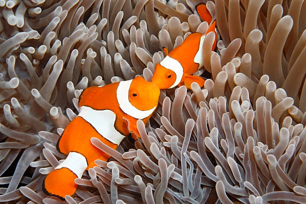 Two Clown Anemonefish