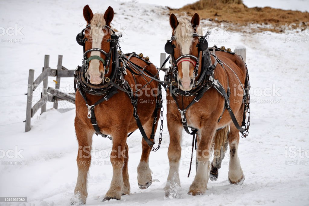 Two Clydesdale Horses Running Through The Snow Stock Photo Download Image Now Istock