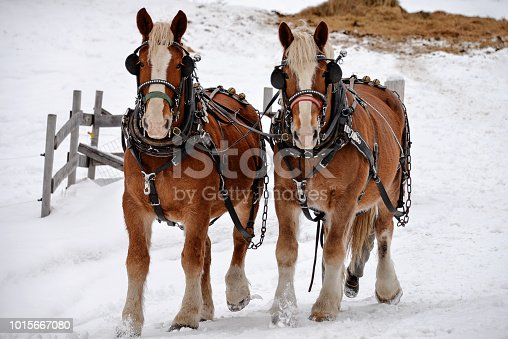 two beautiful clydesdale horses running together through the cold snow
