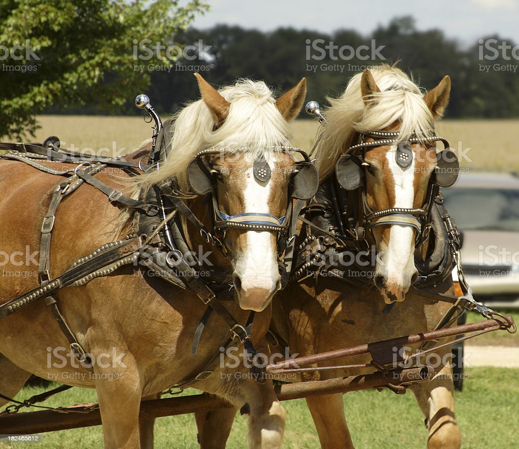 Two Clydesdales stock photo