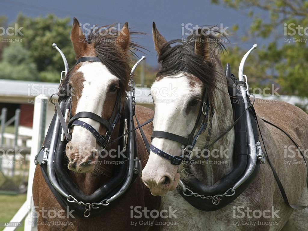 Two Clydesdales royalty-free stock photo