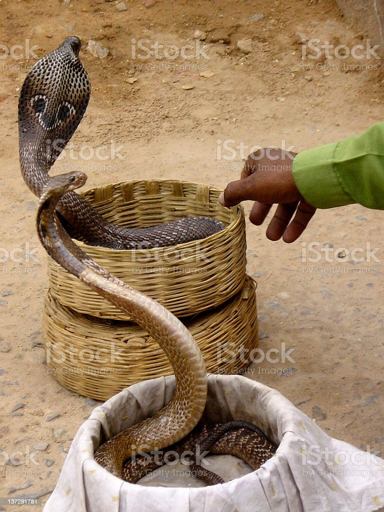 Two cobras royalty-free stock photo