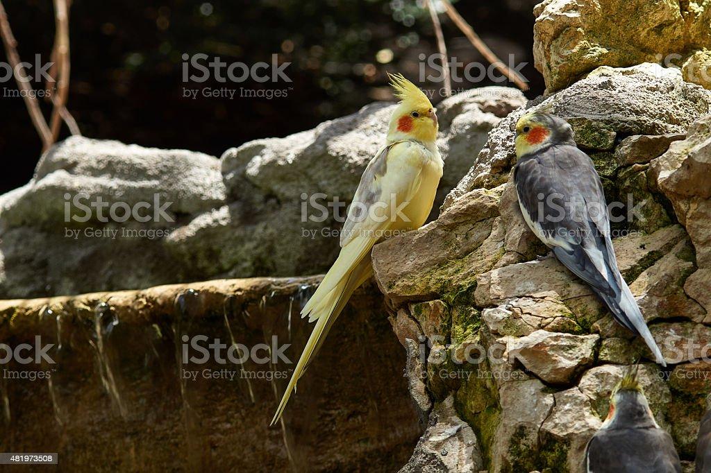 Two cockatiels sit on rocks stock photo
