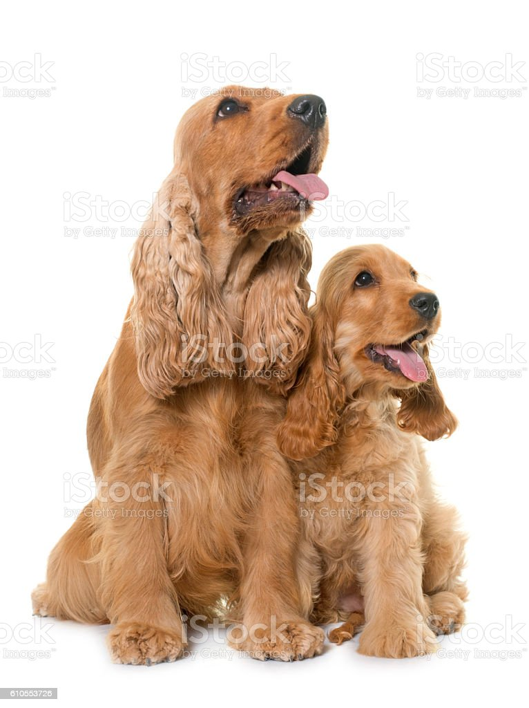 two cocker spaniel in studio stock photo