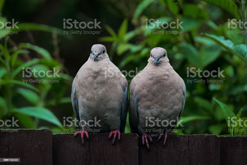 Two collared doves looking straight at the camera – Foto