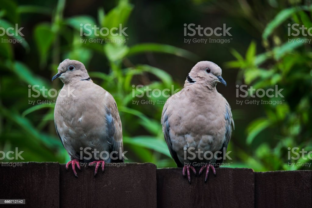 Two collared doves sitting on a dark coloured wooden garden fence – Foto