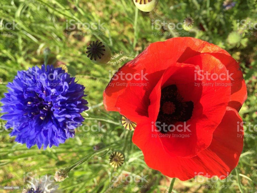 twee-kleur bloem - Royalty-free Bloem - Plant Stockfoto