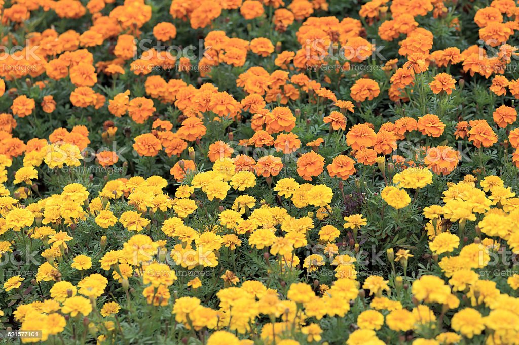 Two color of yellow and orange marigold flowers in garden. photo libre de droits