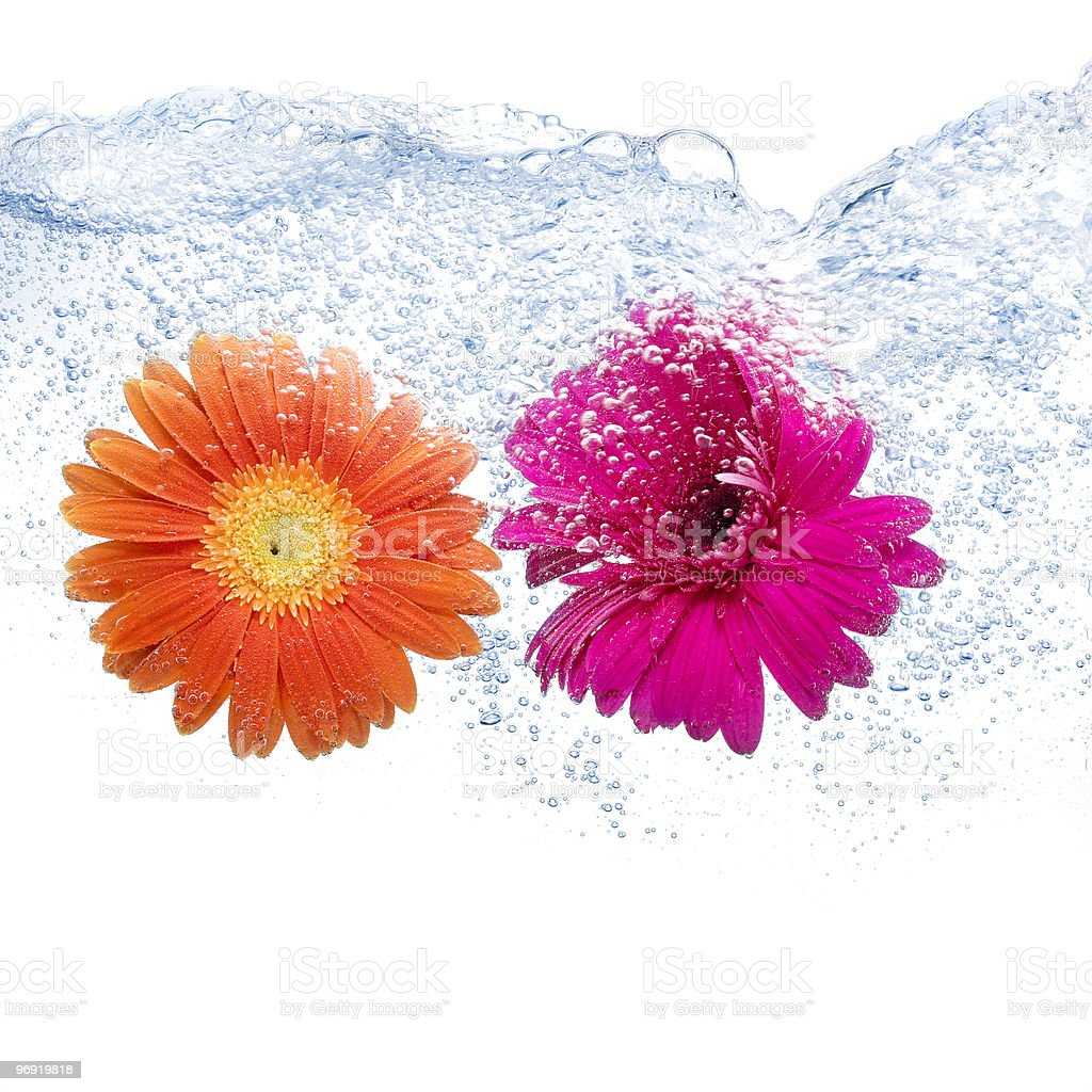 Two colored daisies royalty-free stock photo