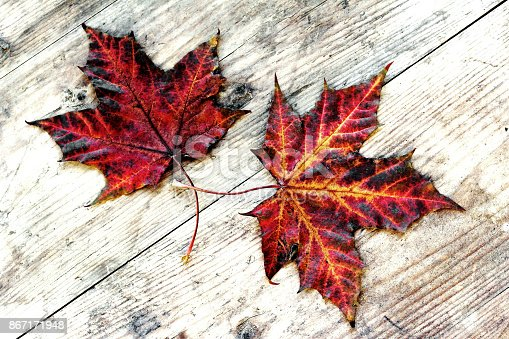 istock Two colorful autumn leaves on a wood substrate 867171948