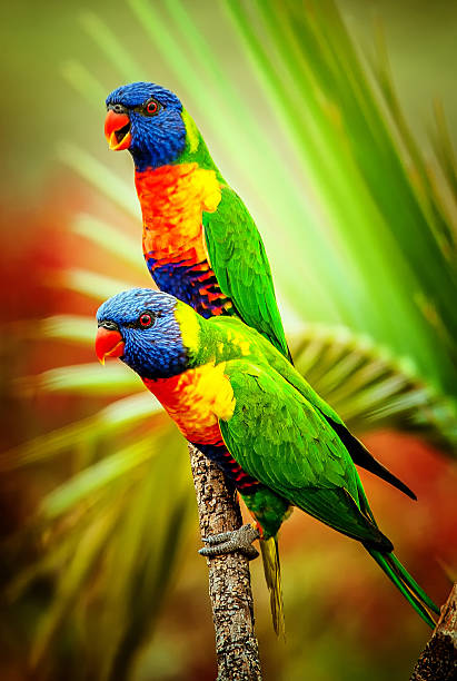 Two colorful Rainbow Lorikeets on a branch stock photo