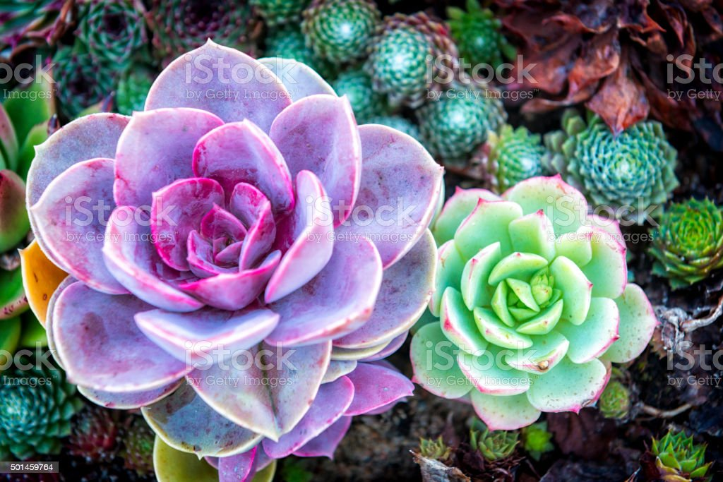 Two Colorful Succulents Stock Photo Download Image Now Istock
