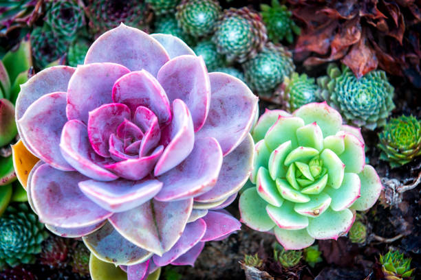 Two colorful succulents stock photo
