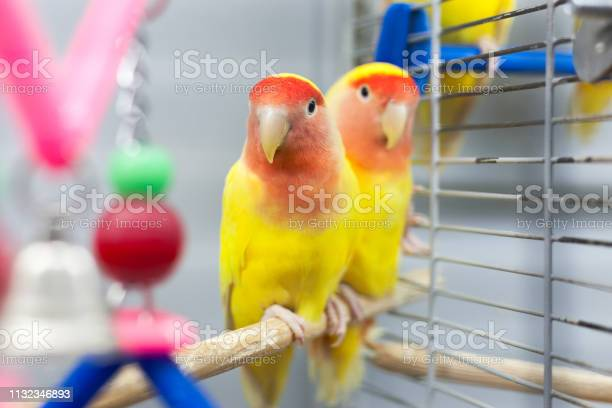 Two colorfull lovebirds red and yellow colors troplical pets picture id1132346893?b=1&k=6&m=1132346893&s=612x612&h=x1vtqbgjenalz2nyjgusxkuncrgf8azhzsxhcuieiru=