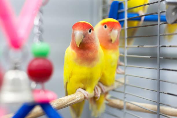 Two colorfull lovebirds red and yellow colors troplical pets picture id1132346893?b=1&k=6&m=1132346893&s=612x612&w=0&h=7upfmmzv ewf1ry0tbcni0ewg6pb2mfdf9ax37g1e6o=