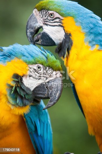 Two colourful Macaw's grooming