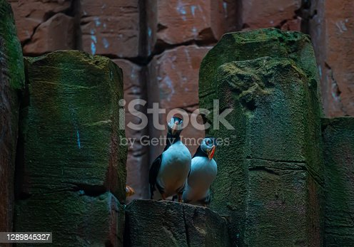 Two common Atlantic puffin birds sitting on rocks by the sea.