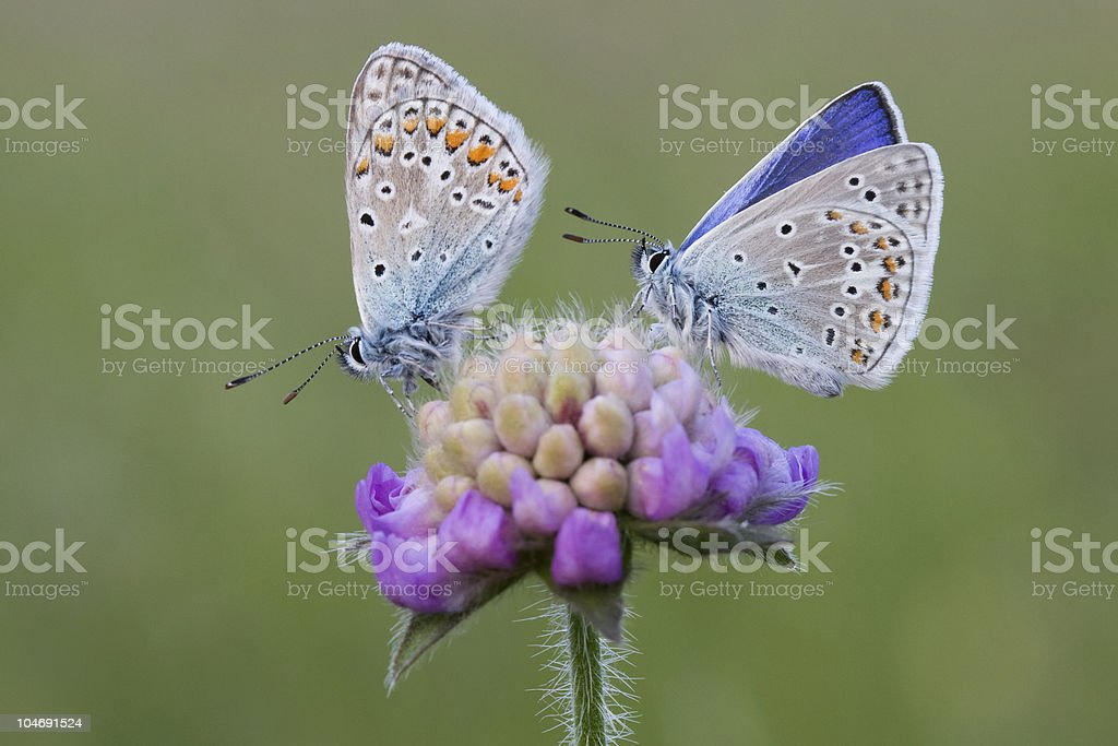 two common blues stock photo