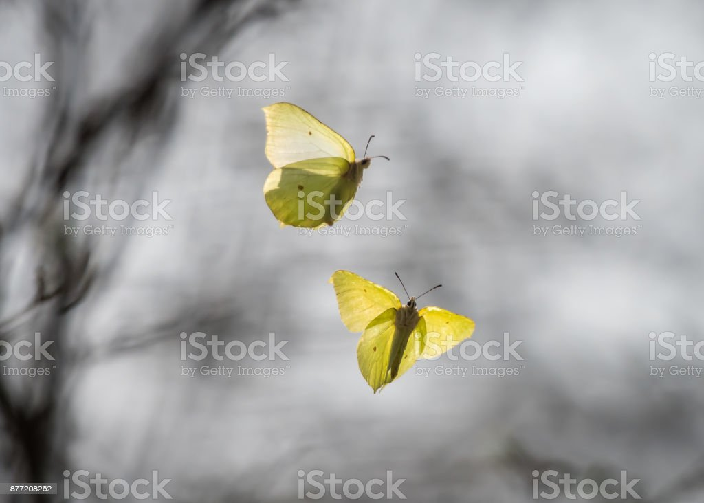 Two common brimstones flying in the air in spring in a forest stock photo