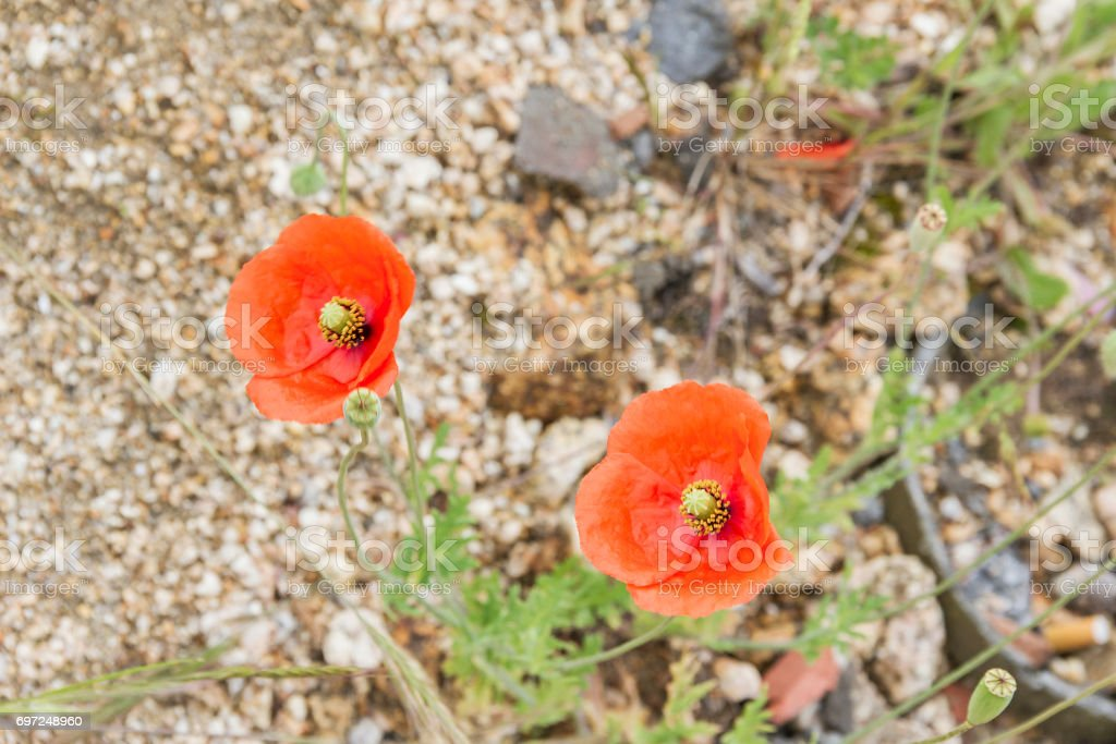 Two common, field or red poppy stock photo