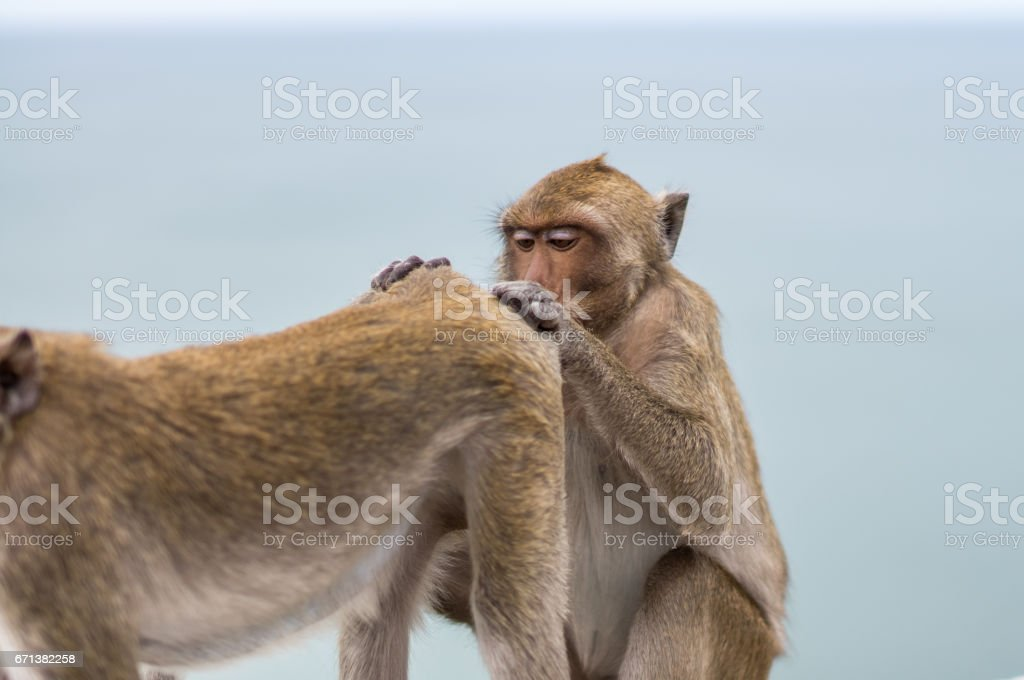 Two common monkeys playing stock photo