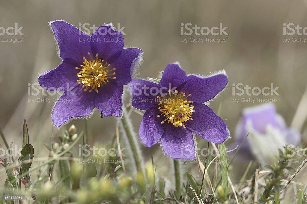Two Common Pasque Flowers stock photo