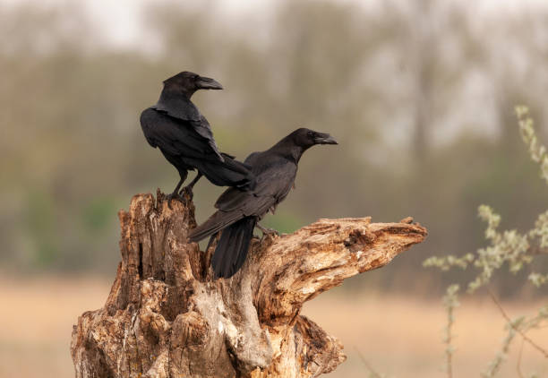 Two Common Ravens, Corvus corax; perched on an old tree stump against a defocussed natural background.