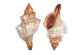 istock Two Conch shells on white background with clipping path 1248421667