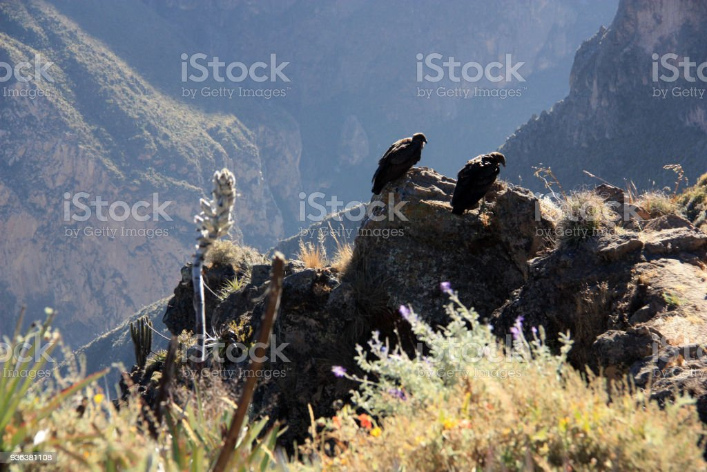 Two Condors waiting of Updrafts stock photo