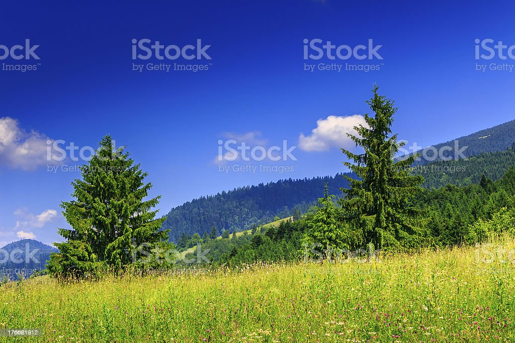 Two coniferous tree royalty-free stock photo