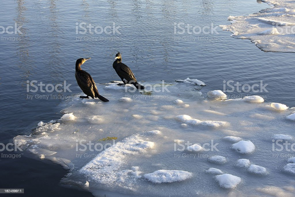 Two cormorants on floating ice royalty-free stock photo