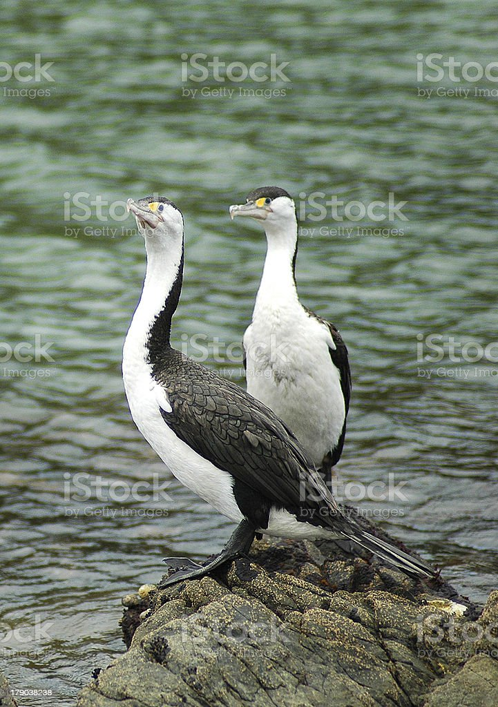 Two Cormorants royalty-free stock photo