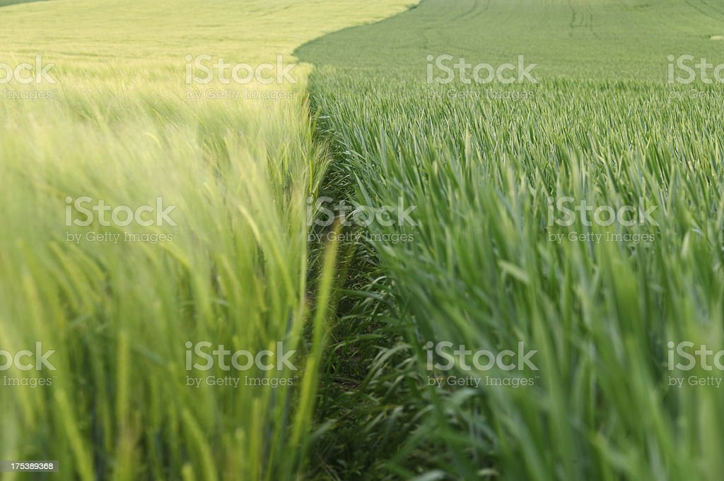 Two Cornfields in different vegetation phases stock photo