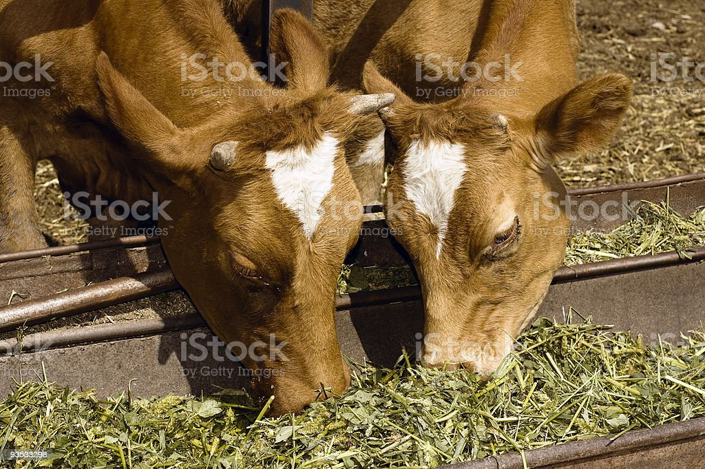 Two cow eat grass royalty-free stock photo