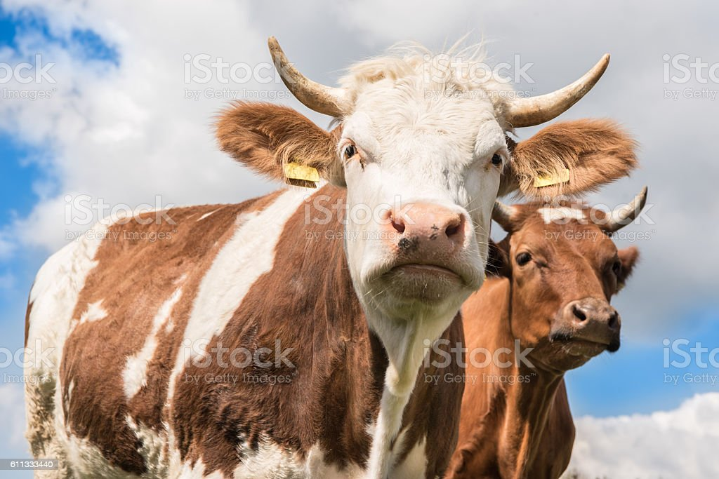 Two cows against blue sky and clouds - Simmentaler cow stock photo
